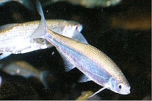 Kaltwasserfische for Mantenimiento de estanques para peces