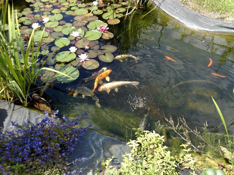 Mein teich2 for Teich winter fische